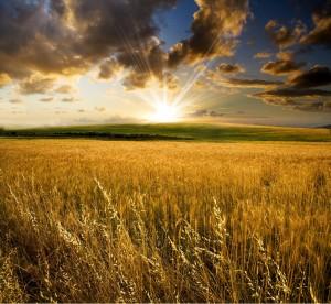 campi-di-grano2