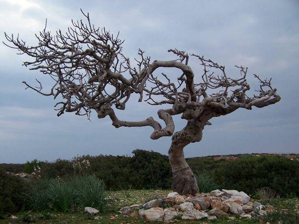 albero di fico