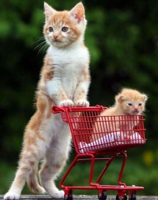 gattini-rossi-con-carrello